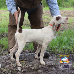 English Pointer Puppy Simon
