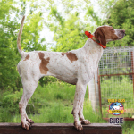 English Pointer Susie