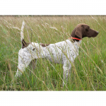 Dolly - GSP - World Class Bird Dogs